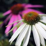 """White Coneflower"" by athompson"