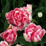 """""""Red and White Tulips"""" by patriciaschnepf"""