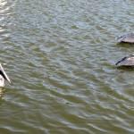 """""""Pelicans in Florida"""" by SanaKiy"""