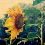 """Sunflower"" by beckybarnhardt"