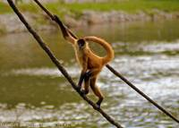 Monkey Walking