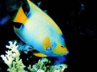 1st Queen Angelfish