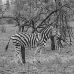 """""""Wild zebra"""" by OurBeautifulPlanet"""
