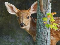 stepping out, mule deer fawn