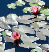 2 pink waterlilies