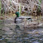 """""""ducks"""" by erinlanzendorfer"""