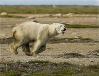 Polar Bear On Charge