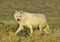 Tundra Wolf At Den