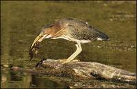 American Bittern On Log With Frog