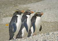 Fiordland Crested Penguins Moving Up Beech
