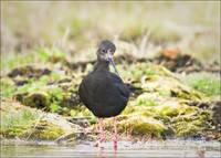 New Zealand Endangered Black Stilt
