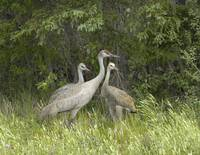 Sandhill Crane Family Northern Canada