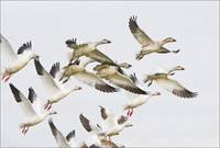 Snow Geese Flock On Take Off