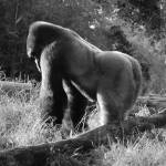 """Gorilla"" by kjphoto"