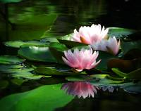 bright and soft pink waterlilies