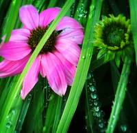 bright pink in wet grass