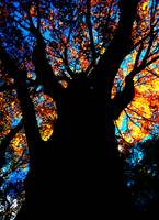 Stunning Tree, Orange Leaves, Deep Blue Sky