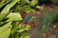 Blue and Brown Moth