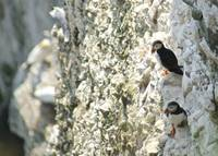 Puffins on Cliff Face