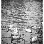 """Swans in Brugge best posterized"" by Groecar"
