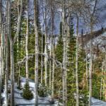 """""""Winter Aspens"""" by GregStringham"""