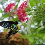 """Birdwing Butterfly"" by VernonHawkins"