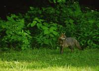A Gray Fox Takes A Break On A Summer Afternoon