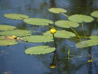 Yellow Water Lily Rises From The Water