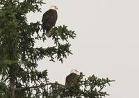 two-eagles-tree