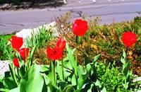 Bright Red Tulips Glow On A Spring Afternoon