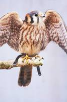 Katie the American Kestrel