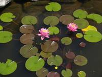 Pink Water Lilies Surround By Lily Pads