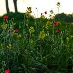 """Sunrise Poppies"" by GregStringham"