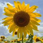 """SunflowersForSale_edited-1"" by GeorgeElliottPhotos"
