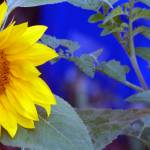 """SunflowerBlue"" by GeorgeElliottPhotos"