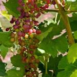 """OregonGrapes"" by GeorgeElliottPhotos"