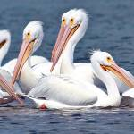 """White Pelicans"" by GeorgeElliottPhotos"