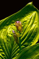 Flowering Hosta Beauty