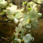 """dogwood"" by Robertbostic"
