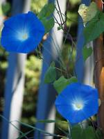 A Pair Of Beautiful Morning Glory Blooms