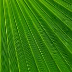 """Palm Leaf Texture"" by ArgosDesigns"