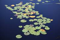 Isolated Lily Pads In Dark Water