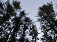 Pine Trees Reach For The Sky