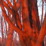"""Close Up Of Tree Glowing Orange By A Sunset"" by MikeMBurkeDesigns"