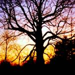 """Beautiful Old Tree In Front Of A Sunset"" by MikeMBurkeDesigns"