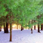 """Green Pines Trees Over White Snow"" by MikeMBurkeDesigns"