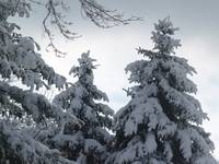 Pine Trees Buried In Snow