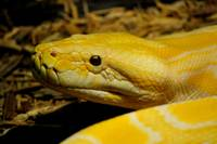 Yellow and White Burmese Python