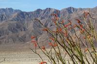 Ocotillo view