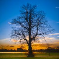 A Tree - Sunset at Kensington Gardens, London